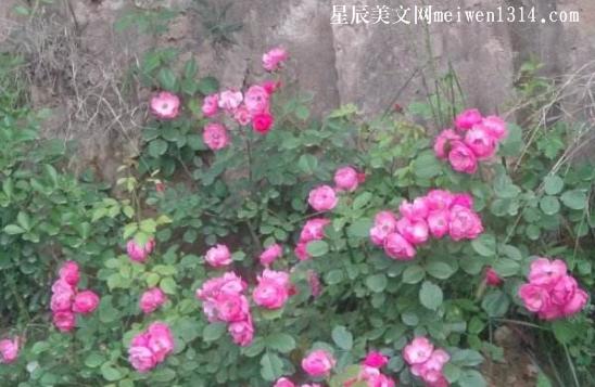 墙角的蔷薇花