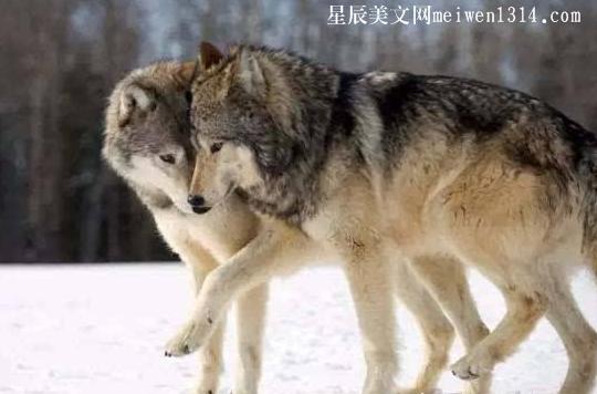 动人的爱情小故事:狼的爱情