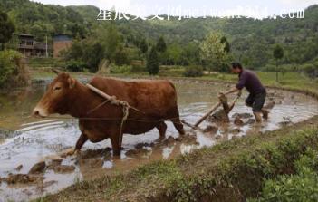 父亲和那头牛