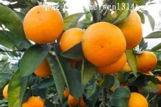 橘子250字作文