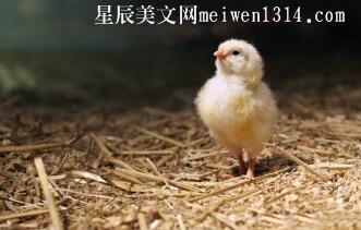 可爱的小鸡500字作文
