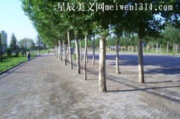 校园的白杨树