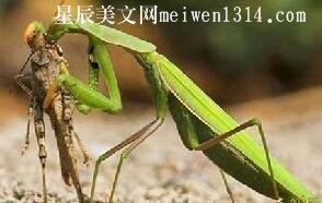 奇异的螳螂