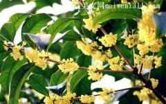 桂花树不适合种在院子里什么位置,桂花树种在院子里什么位置好?